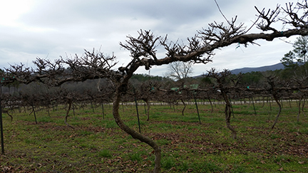 White Oak Vineyards in early spring